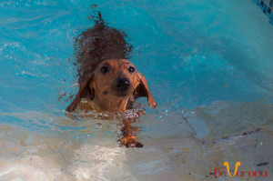 dog-swiming